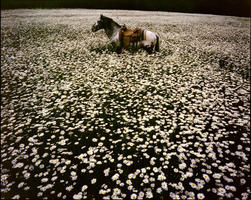 Lucky Spot Daisy Field, Sussex, 1985